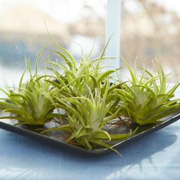 Tips para cultivar plantas aéreas 2