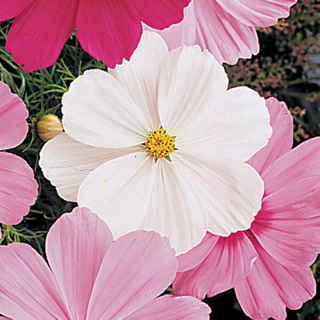 Las mejores plantas anuales para cultivar a partir de semillas 2
