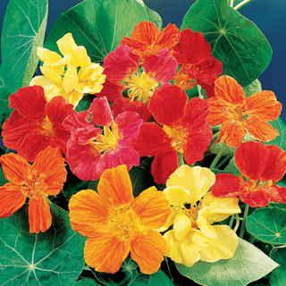 Las mejores plantas anuales para cultivar a partir de semillas 3