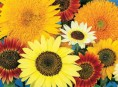 imagen Las mejores plantas anuales para cultivar a partir de semillas