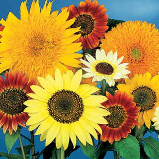 Las mejores plantas anuales para cultivar a partir de semillas 4