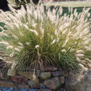 Las mejores plantas anuales para cultivar a partir de semillas 5
