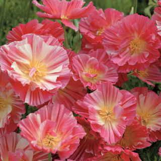 Las mejores plantas anuales para cultivar a partir de semillas 6