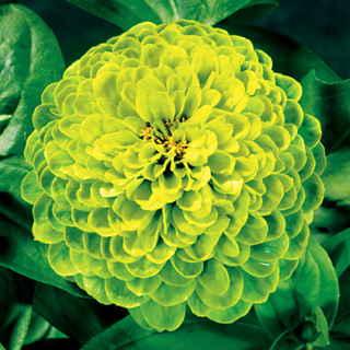 Las mejores plantas anuales para cultivar a partir de semillas 7