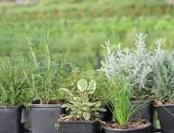 imagen 10 tipos de hierbas para cultivar en maceta