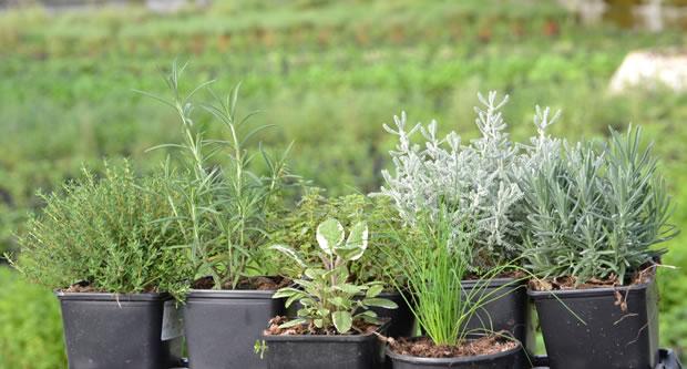 10 tipos de hierbas para cultivar en maceta for Plantas aromaticas en macetas