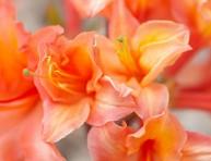 imagen 10 variedades de azaleas