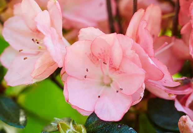 azaleas-Blaauws-Pink-o-Kurume