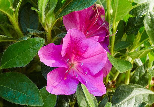 azaleas-Bloom-A-Thon