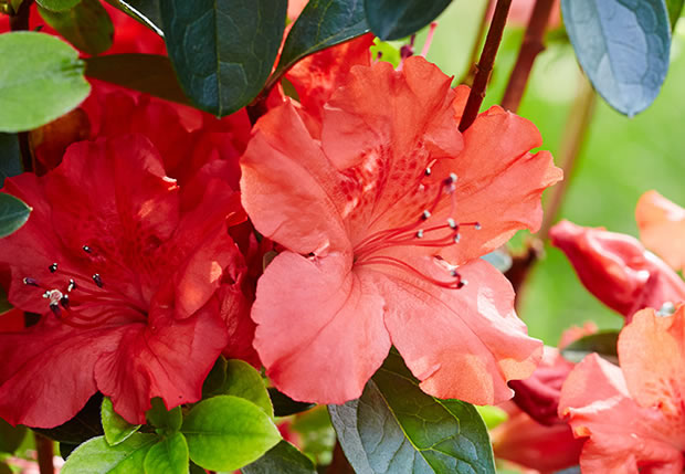 azaleas-Girards-Hot-Shot