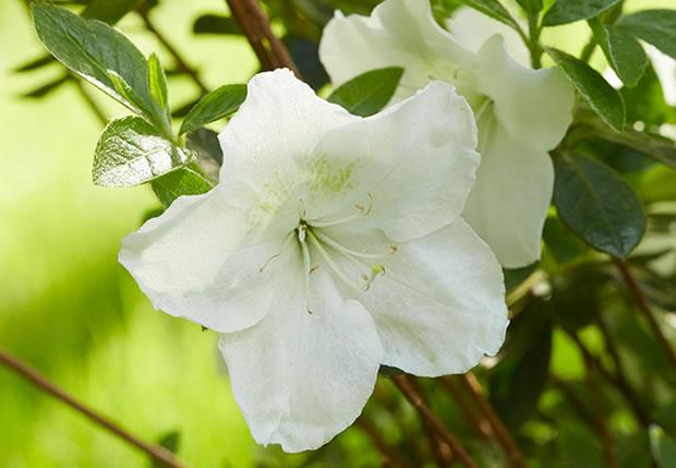 azaleas-pleasant-white
