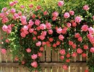 imagen Cuándo y cómo plantar rosales