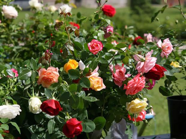 Cu ndo y c mo plantar rosales for Jardineria rosales