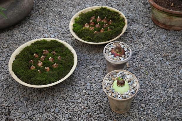 Plantar narcisos y amarilis 1