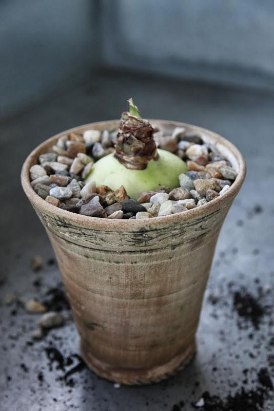 Plantar narcisos y amarilis 10