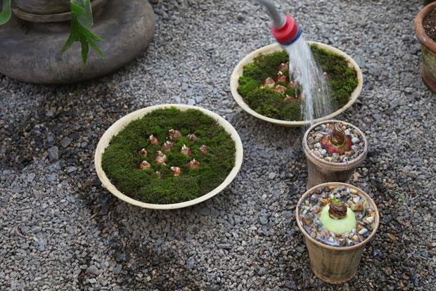 Plantar narcisos y amarilis 19