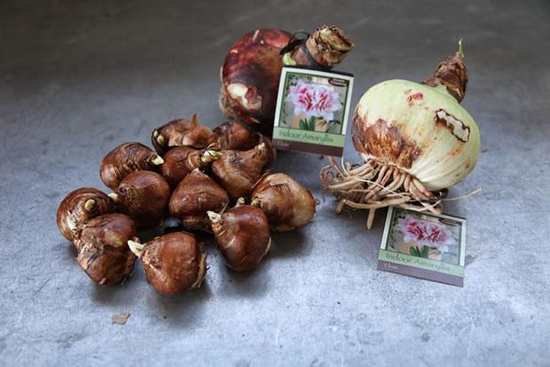 Plantar narcisos y amarilis 2