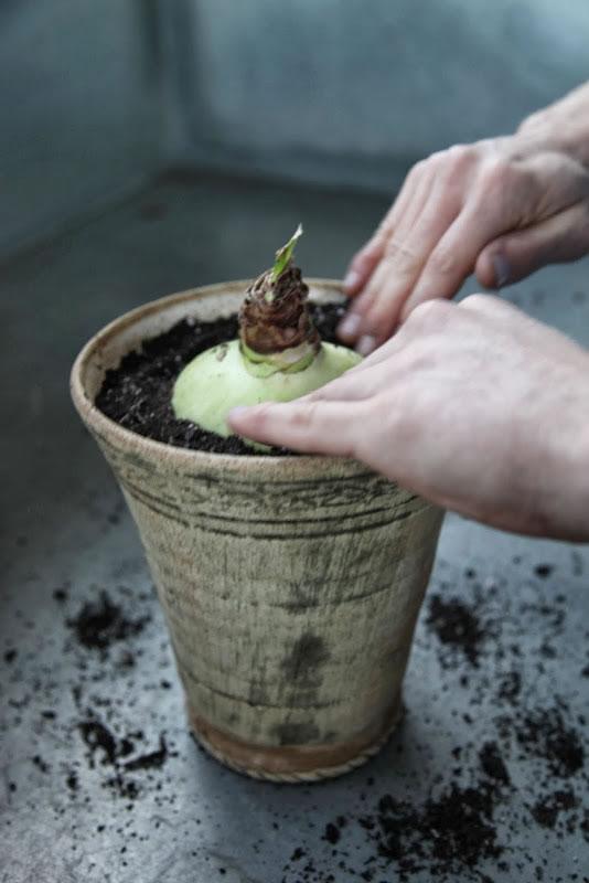 Plantar narcisos y amarilis 9