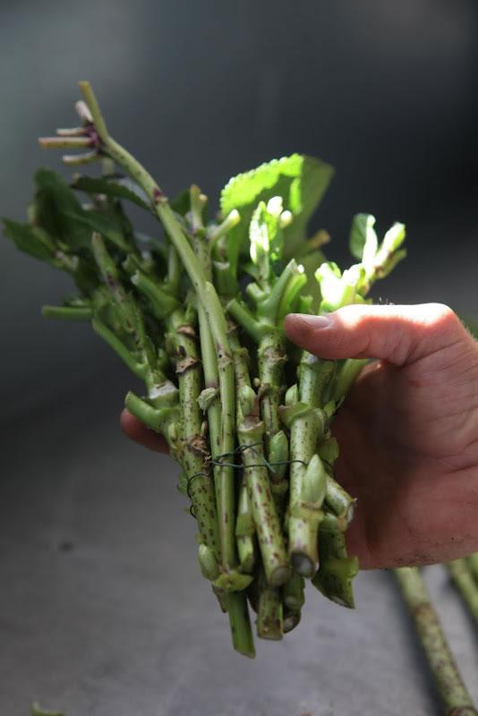 Reproducción hortensias 5