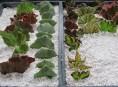 imagen Cómo propagar begonias por esquejes de hojas