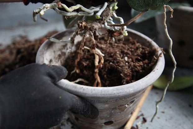 Trasplante de orquídeas 11
