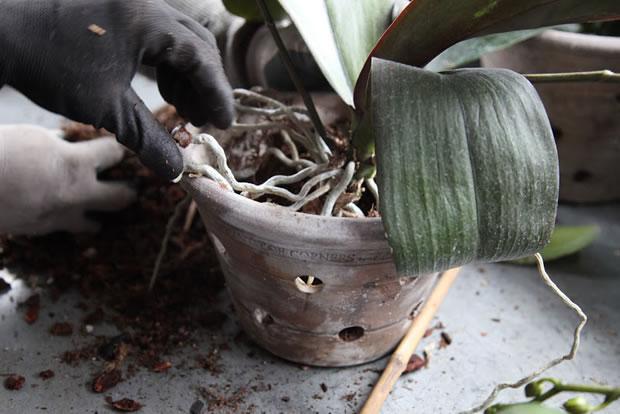 Trasplante de orquídeas 12