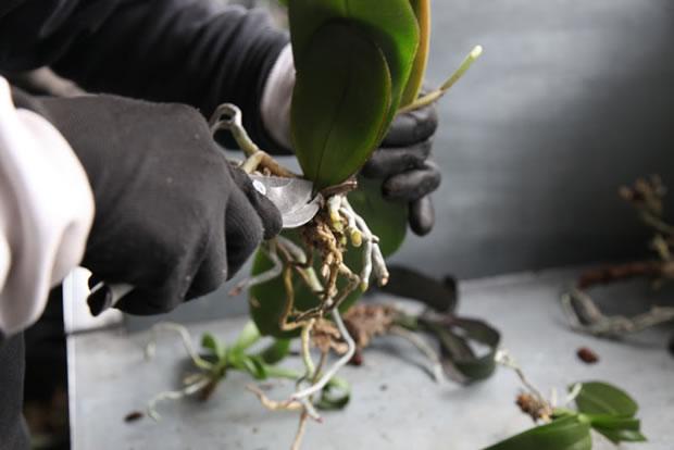 Trasplante de orquídeas 6