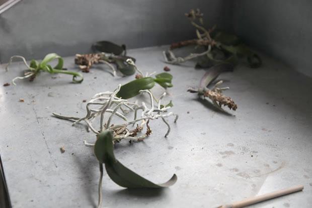 Trasplante de orquídeas 8