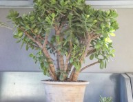 imagen Trasplante del Árbol de Jade paso a paso
