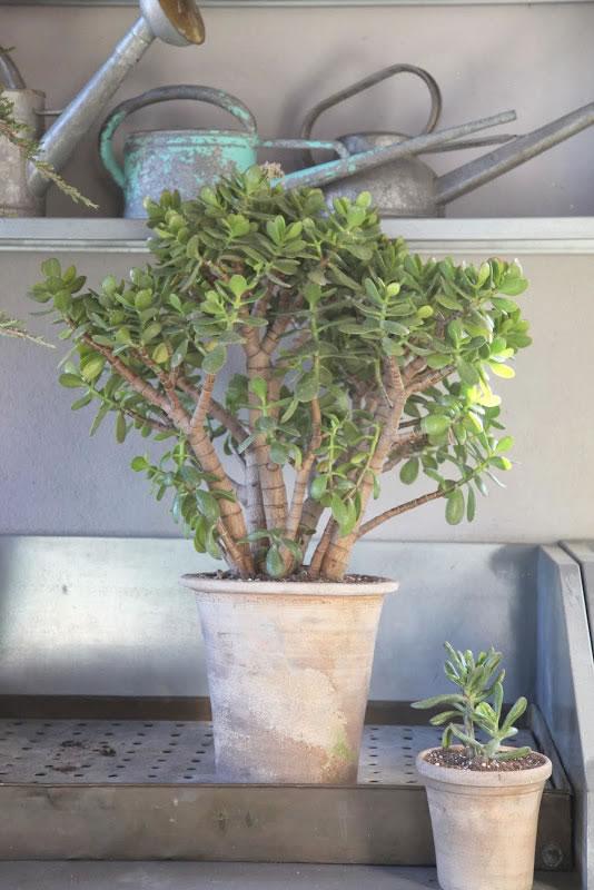 Trasplante del árbol de Jade 1