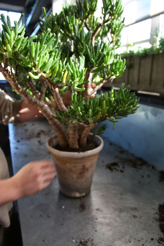 Trasplante del árbol de Jade 12