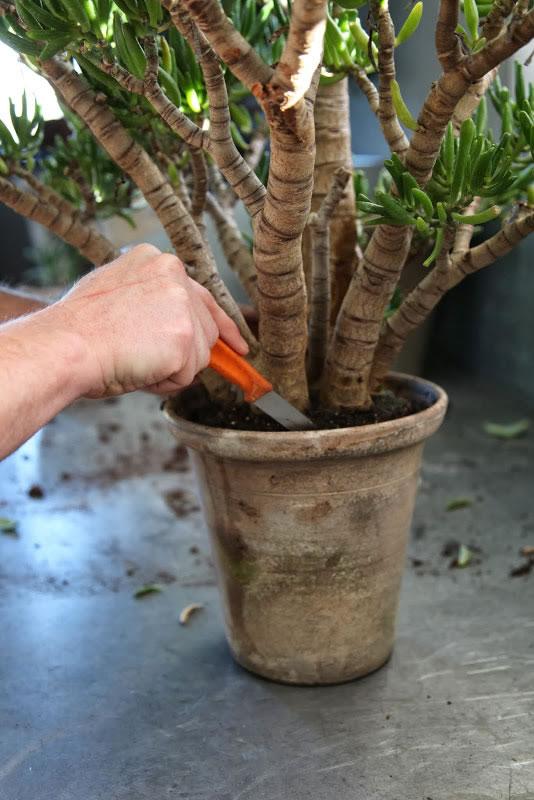 Trasplante del árbol de Jade 3