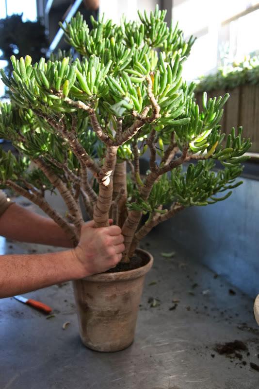 Trasplante del rbol de jade paso a paso for Arboles para macetas de exterior