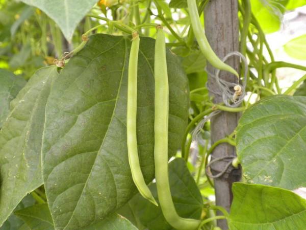 7 cultivos de huerta para principiantes 3