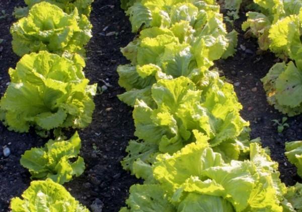 7 cultivos de huerta para principiantes 4
