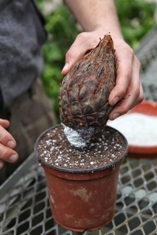 Palma cica reproduccion asexual de las plantas