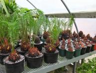 imagen Cultivo de vástagos de la Palma de Sagú o Cica