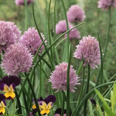 Hierbas arománticas de primavera 5