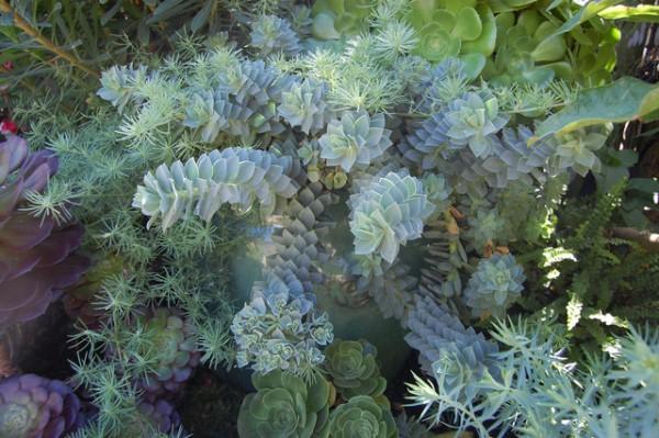 plantas-de-follaje-azul-04
