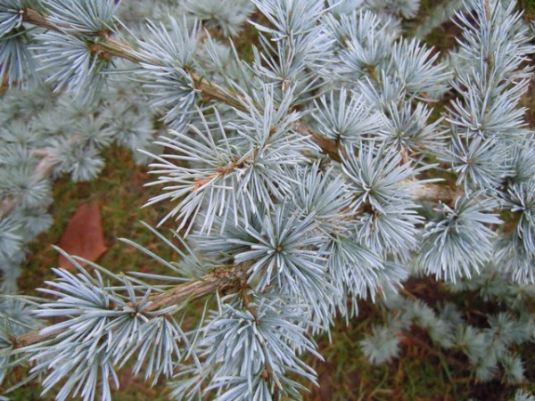 plantas-de-follaje-azul-07