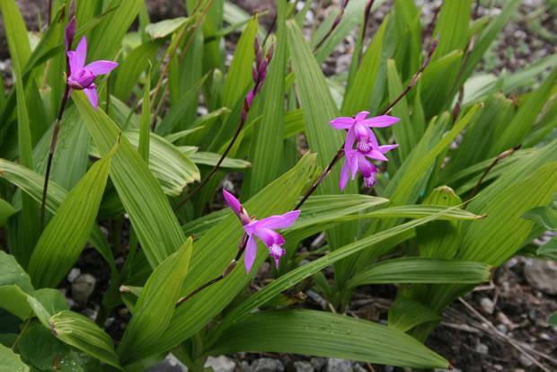 Orqu deas bletilla striata for Cuidado de las orquideas moradas
