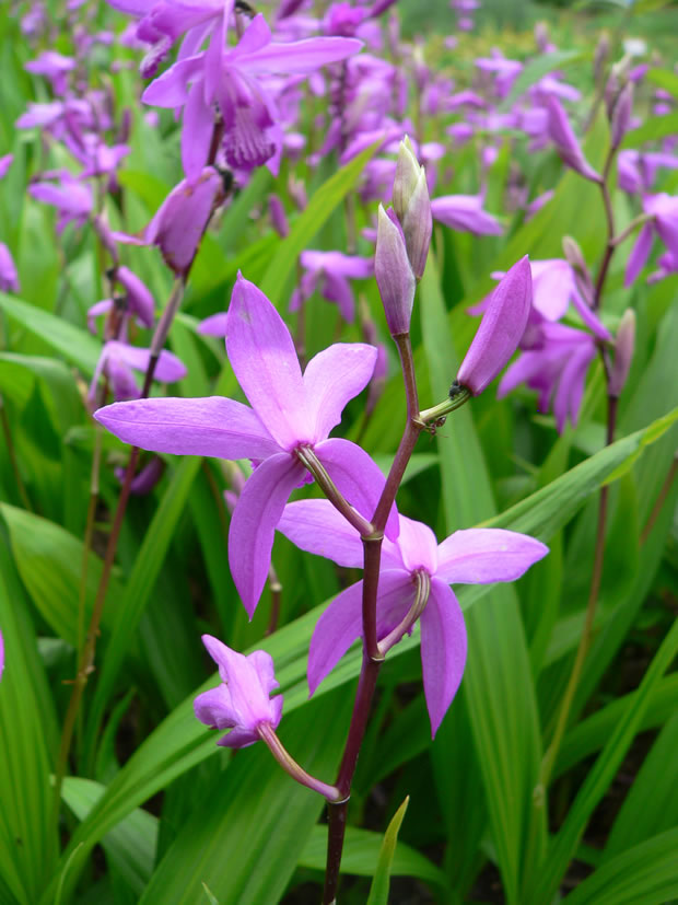 Orquídea Bletilla Striata 3