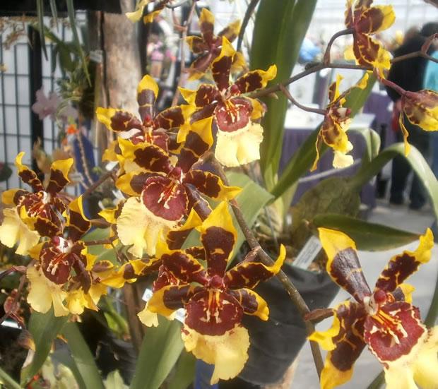 Orquídea Colmanara Wildcat 1