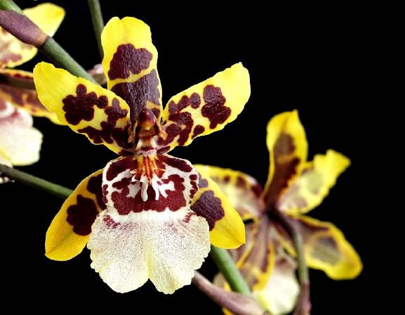 Orquídea Colmanara Wildcat 2