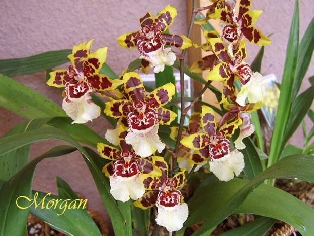 Orquídea Colmanara Wildcat 3