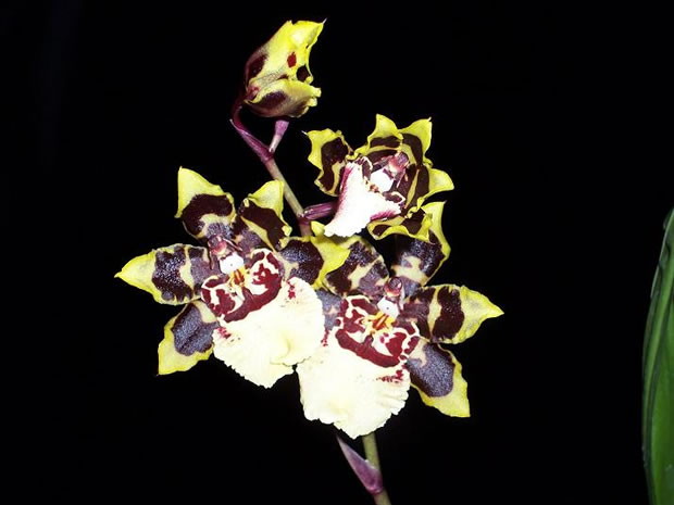 Orquídea Colmanara Wildcat 4