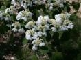 imagen El viburnum plicatum 'Mariesii'