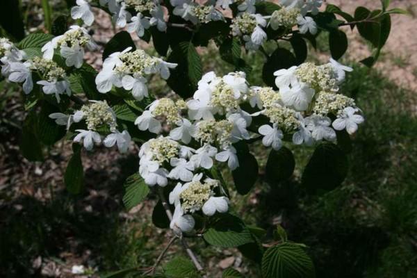 viburnum plicatum 'Mariesii'2