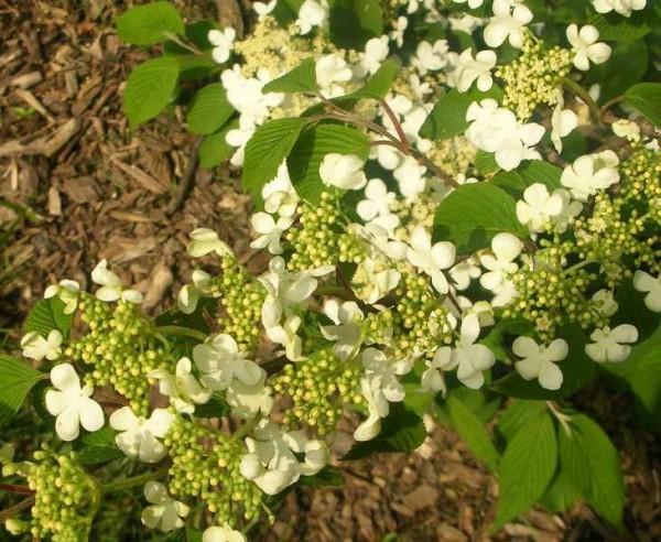 viburnum plicatum 'Mariesii'4