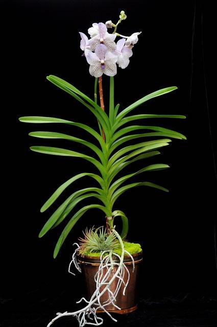 Orquídea 3